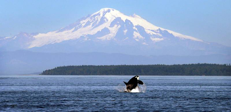 FILE - In this July 31, 2015, file photo, an orca or killer whale breaches in view of Mount Baker, some 60 miles distant, in the Salish Sea in the San Juan Islands, Wash. Two California Congressmen announced plans Friday, Nov. 6, 2015 to introduce the Orca Responsibility and Care Advancement Act. The proposed federal legislation aims to phase out the captivity of killer whales by banning breeding, importing and exporting the animals for public display to ensure that orcas now at aquatic parks such as SeaWorld are the last ones and that when they die, none will replace them. The bill also would ban taking any whales from the wild. ( (AP Photo/Elaine Thompson, File)