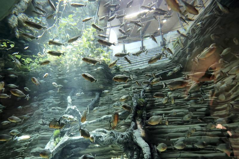Dubai, United Arab Emirates - July 03, 2019: Piranhas. The Green Planet for Weekender. Wednesday the 3rd of July 2019. City Walk, Dubai. Chris Whiteoak / The National