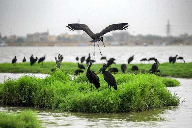 A congregation of ibises gather on the bank of the Nile river in the Sudanese capital Khartoum on June 9, 2020. (Photo by ASHRAF SHAZLY / AFP)