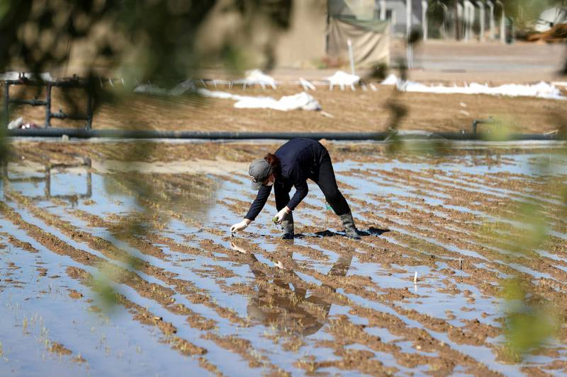 Sharjah, United Arab Emirates - Reporter: Sarwat Nasir. News. Food. Woonha Hwang, a junior scientist. People transplant rice plants at a rice farm, as part of research by the ministry to enhance UAEÕs food security. Sharjah. Monday, January 11th, 2021. Chris Whiteoak / The National