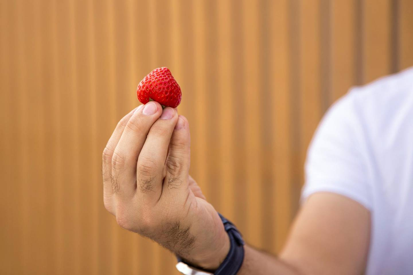 DUBAI, UNITED ARAB EMIRATES - SEPTEMBER 17, 2018.  Strawberries grown in Agricool's container in Sustainable City.Agricool is a french start-up that grows fruits and vegetables inside shipping containers, where they grow without pesticide, minimum water and nutrition intake, no GMOs, and are harvested the day you will purchase. (Photo by Reem Mohammed/The National)Reporter: LIZ COOKMANSection: NA