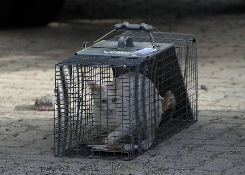 ABU DHABI - UNITED ARAB EMIRATES - 04JUNE2017 - Trapped stray cats by Volunteers from Animal Welfare Abu Dhabi, neuter them and release them back near Mina fish market in Abu Dhabi. Ravindranath K / The National ID: 79679 (to go with Nicholas Webster story for News) *** Local Caption ***  RK0406-Welfarepets13.jpg