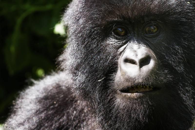 Gotilla at Virunga National Park, DemocraticRepublic of Congo. Getty Images