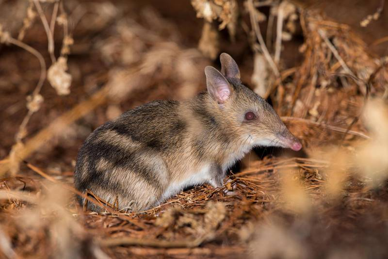 Eastern barred bandicoots (perameles gunnii) are common in Tasmania where there are no foxes. Here one hops around with rabbits on a town oval. On mainland Australia they are all but extinct from fox predation. Getty Images