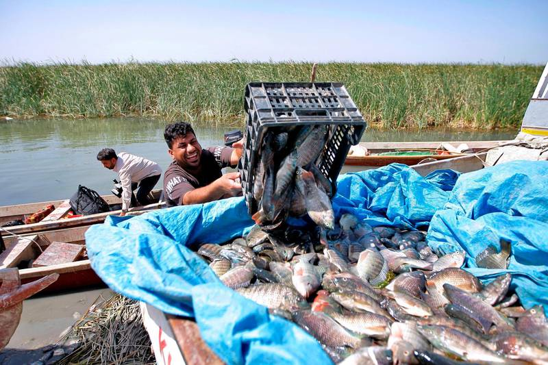 Fishermen unload the day's catch from the marshes into pick-up trucks in Chibayish, Iraq, Saturday, May, 1, 2021. Deep within Iraq's celebrated marsh lands, conservationists are sounding alarm bells and issuing a stark warning: Without quick action, the UNESCO protected site could all but wither away. (AP Photo/Anmar Khalil)
