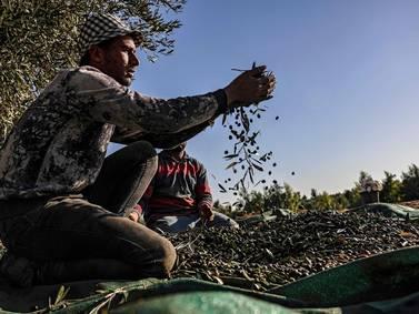 Palestinians harvest olives in refugee camp - in pictures