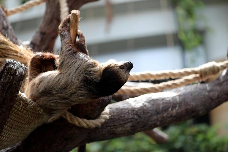 A sloth comes down to be fed at the Green Planet. A day in the life of keepers at the Green Planet in Dubai on June 16th, 2021. Chris Whiteoak / The National.  Reporter: N/A for Lifestyle