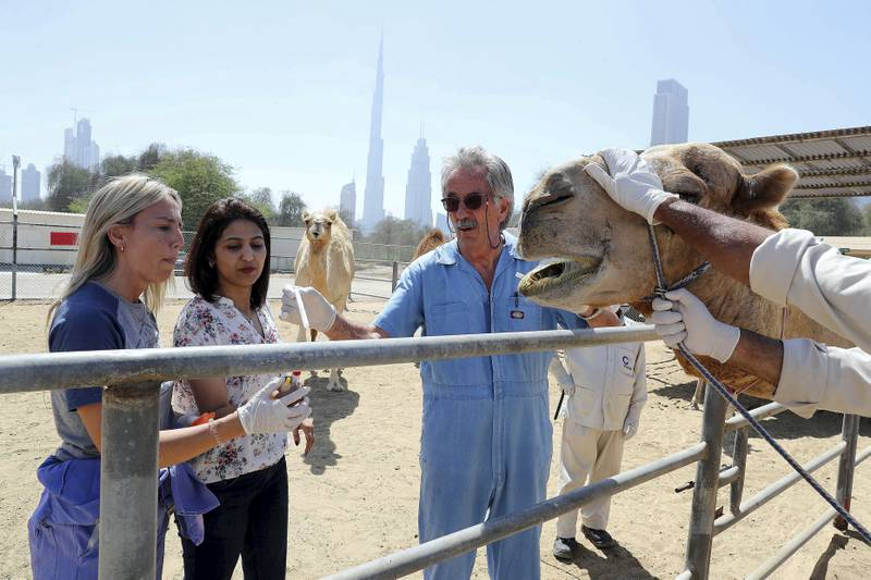 DUBAI , UNITED ARAB EMIRATES , MARCH 15  – 2017 :-  Left to Right – Dr Marina Rodriguez , Dr Sunitha Joseph and  Ulrich Wernery , scientific director of the Central Veterinary Research Laboratory taking samples from camel at the Central Veterinary Research Laboratory in Dubai. ( Pawan Singh / The National ) For News. Story by Daniel Bardsley
