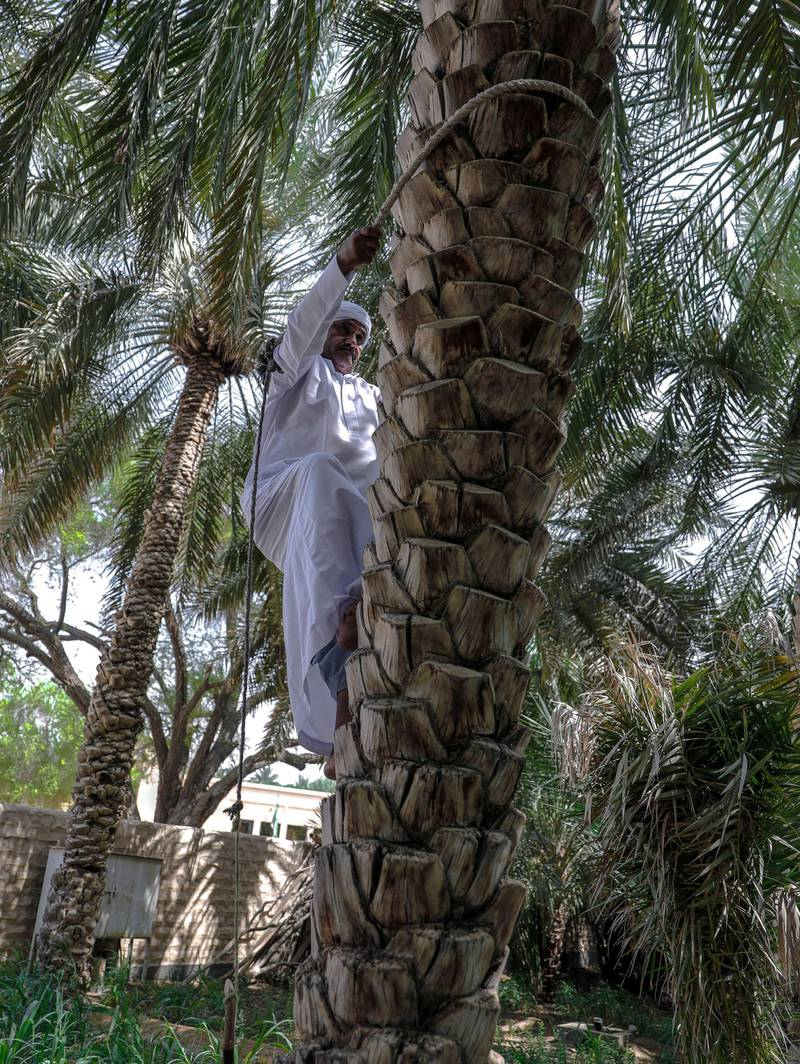 """Al Ain, United Arab Emirates, October 7, 2019.  Weekend – photo essay Discovering agricultural practices at Al Ain Oasis: there's a new programme that introduces visitors to the UAE's plant species, crops and agriculture professions running throughout October and November.-- Mr. Ali, a date farmer is 60 years old and can still climb trees using the traditional climbing harness called, """"habool"""".Victor Besa / The NationalSection:  WKReporter:  Katy Gillett"""