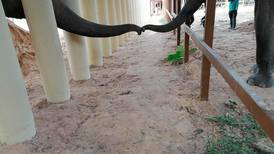Kaavan's first contact: 'former loneliest elephant in the world' makes a friend in Cambodia