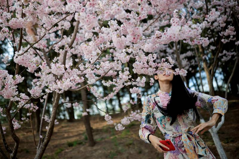 A woman stands amid blooming trees during cherry blossom season in Yuyuantan Park in Beijing, China, March 31, 2021. REUTERS/Thomas Peter     TPX IMAGES OF THE DAY
