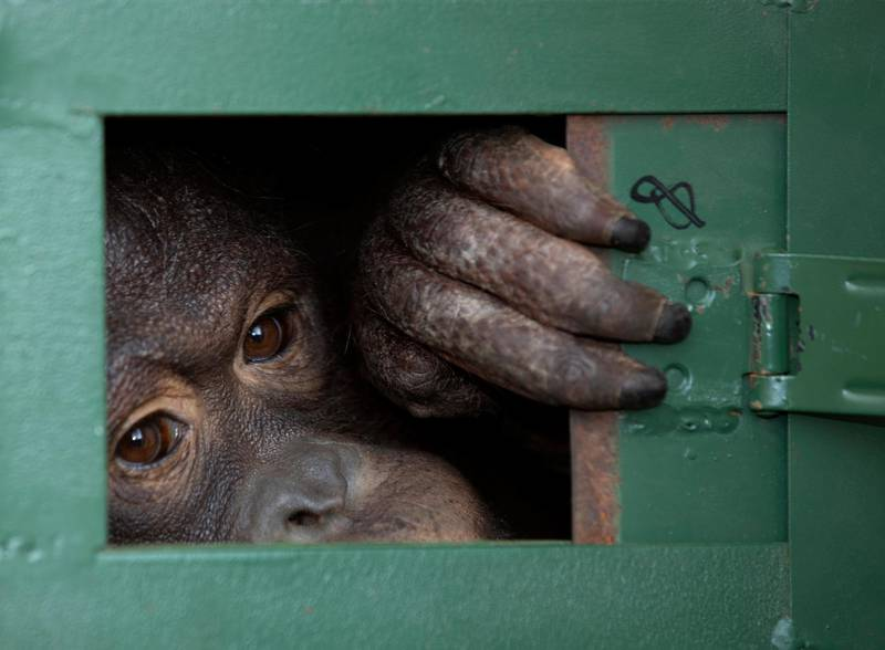 In this Friday, Dec. 20, 2019, file photo, Cola, 10-year-old female orangutan waits in a cage to be sent back to Indonesia at a Suvarnabhumi Airport in Bangkok, Thailand. Wildlife authorities in Thailand repatriated two orangutans, Cola and 7-year-old Giant, to their native habitats in Indonesia in a collaborative effort to combat the illicit wildlife trade. Cola was born in a breeding center from two smuggled orangutans which were sent back to Indonesia several years ago, according to the  Department of National Park, Wildlife and Plant Conservation. (AP Photo/Sakchai Lalit, File)