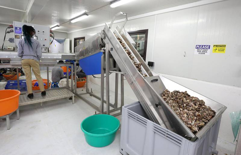 Fujairah, United Arab Emirates - Reporter: Kelly Clark. News. The weighing room at the land processing area. Visit to the Dibba Bay Oysters farm in Fujairah. Dibba, Fujairah. Wednesday, January 13th, 2021. Chris Whiteoak / The National