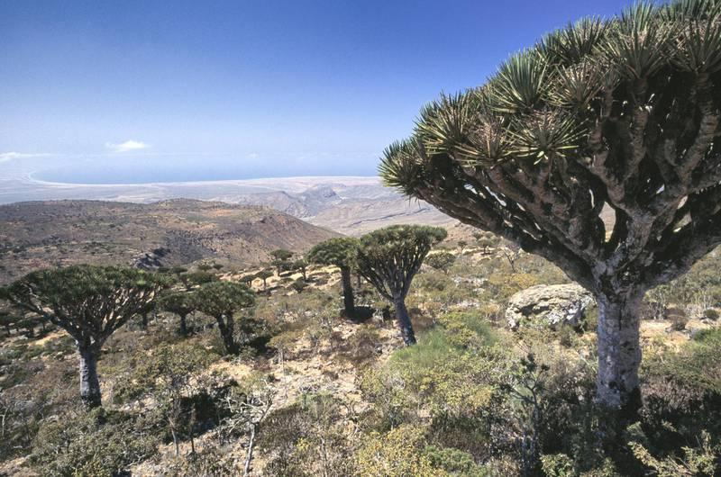 Dragon tree plants of Socotra (Dracaena cinnabari), Socotra Island (Unesco World Heritage List, 2008), Yemen.