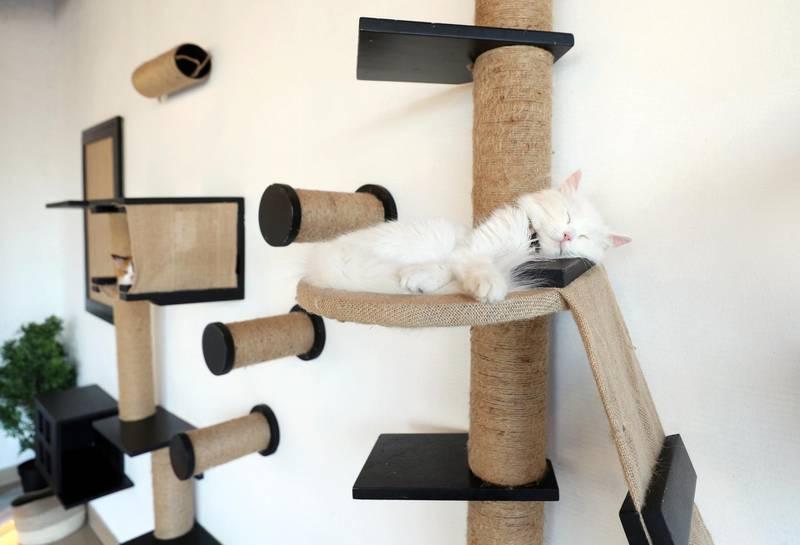 Dubai, United Arab Emirates - Reporter: Janice Rodrigues. Features. Vibrissae Cat Cafe has just opened in Al Safa, Dubai. Monday, March 8th, 2021. Dubai. Chris Whiteoak / The National