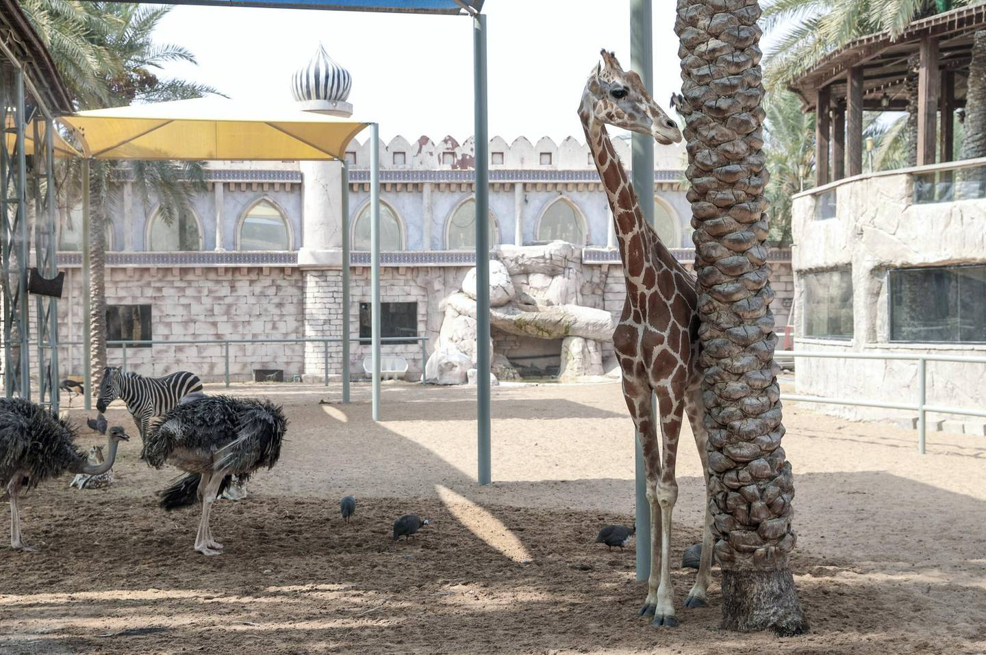 Abu Dhabi, United Arab Emirates, August 4, 2019.  Breakfast with giraffes at the Emirates Park Zoo.  Amy the giraffe before breakfast. Victor Besa/The NationalSection:  NAReporter:  Sophie Prideaux