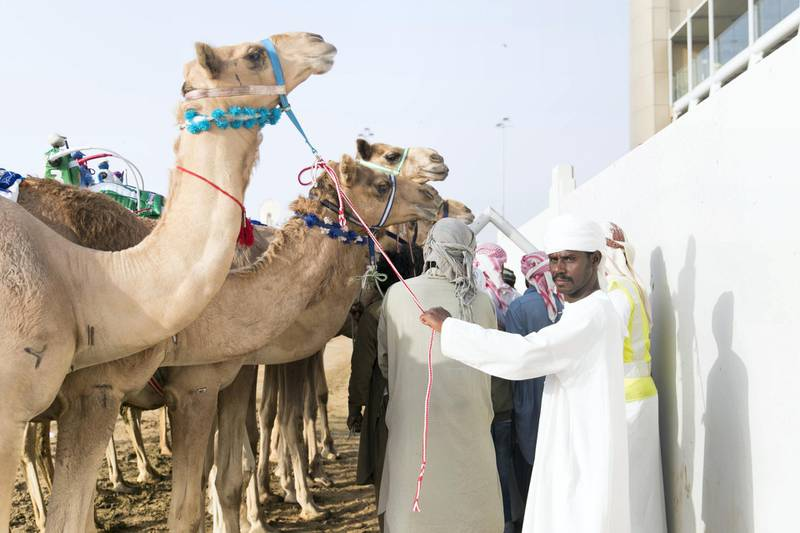 DUBAI, UNITED ARAB EMIRATES - Feb 15, 2018.  Camels behind the racetrack of Al Marmoum.  The fastest camels in the Gulf will compete for cash, swords, rifles and luxury vehicles totalling Dh95 million at the first annual Sheikh Hamdan Bin Mohammed Bin Rashid Al Maktoum Camel Race Festival in Dubai.   (Photo: Reem Mohammed/ The National)  Reporter: Section: NA