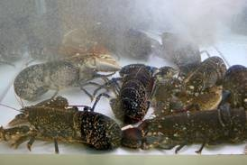 How do you tell the age of a lobster? Scientists have solved the mystery