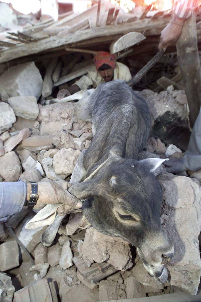 Villagers rescue a calf from a damaged house in the western Indian village of Kabrao, near Bhuj, on January 27, 2001, after a massive earthquake wreaked havoc in the region. India's Star Television news said on Saturday the death toll from the powerful quake which devastated western India on Friday has risen to 8,000.  PK/JD