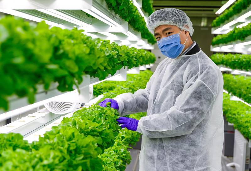 Abu Dhabi, United Arab Emirates, August 24, 2020.   Sean Lee at the lettuce hydroponics farm at the Officers Club, Abu Dhabi.Victor Besa /The NationalSection:  NAReporter:  Anna Zacharias