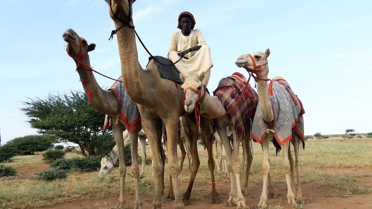 An image that illustrates this article How Sudan's tribes transformed their camel business to keep Gulf buyers