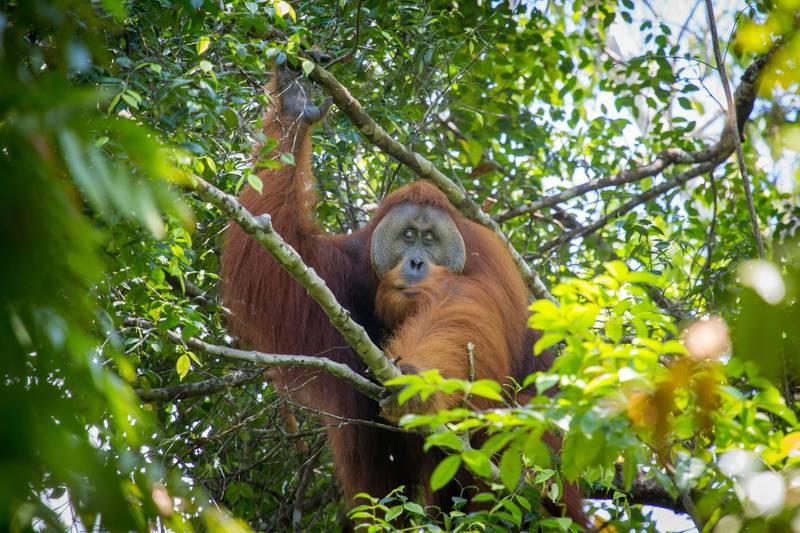 Sumatran Orangutan. Adult flanged male - part of a long term study by international scientists.