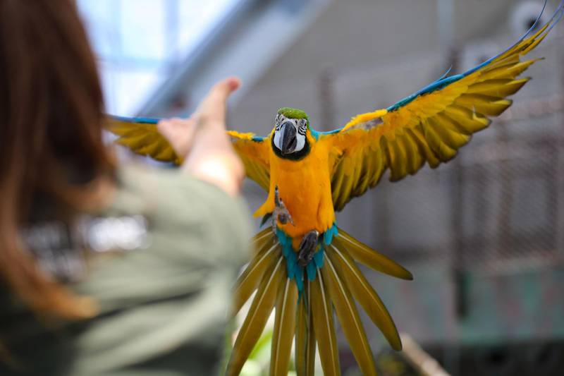 An blue and gold macaw is flies with biologist Elizabeth Hill at the Green Planet. A day in the life of keepers at the Green Planet in Dubai on June 16th, 2021. Chris Whiteoak / The National.  Reporter: N/A for Lifestyle