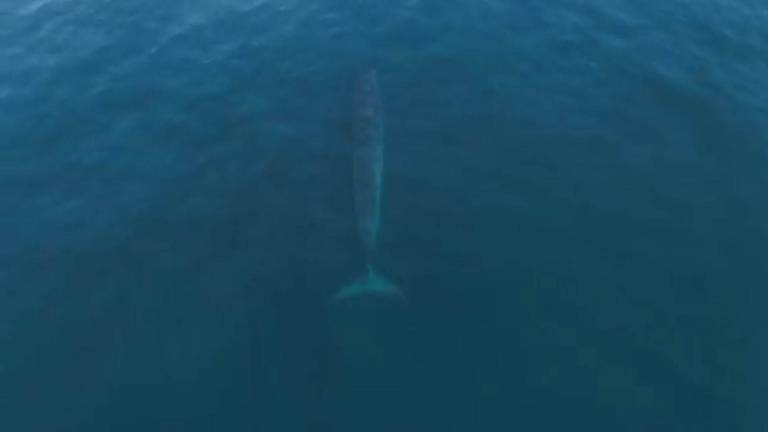 An image that illustrates this article Aerial footage shows rare whale in Abu Dhabi waters