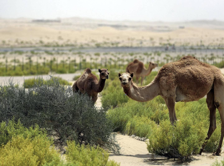 Abu Dhabi, United Arab Emirates - Reporter: N/A: A baby camel grazes in the Abu Dhabi desert. Thursday, April 23rd, 2020. Abu Dhabi. Chris Whiteoak / The National