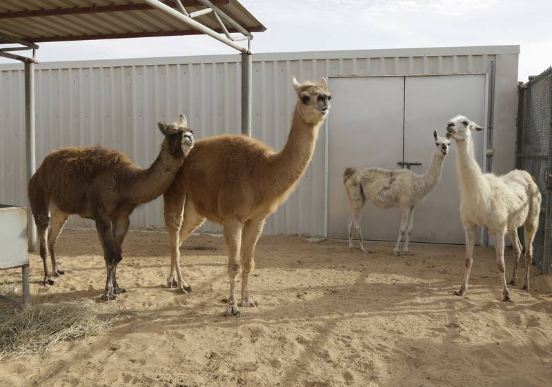 Dubai, United Arab Emirates - January 15, 2017.  Camas ( brown colour ) and Llamas ( white colour ), in the Camel Reproduction Centre.  ( Jeffrey E Biteng / The National )  Editor's Note;  ID 51118 *** Local Caption ***  JB150117-Camel19.jpg