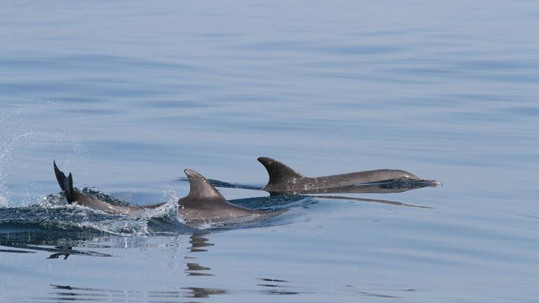 An image that illustrates this article UAE public asked to help with dolphin sighting project