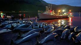 Faroe Islands to review dolphin hunting amid outrage over mass slaughter