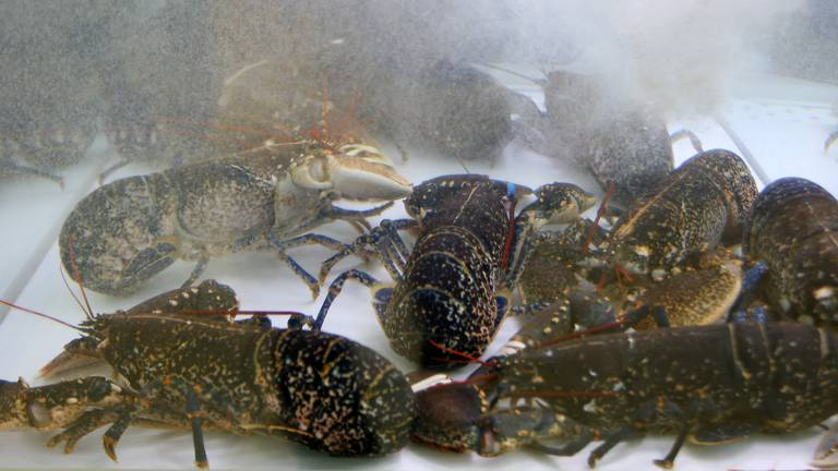 An image that illustrates this article How do you tell the age of a lobster? Scientists have solved the mystery