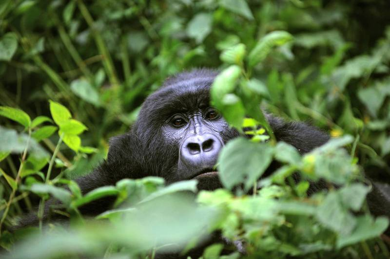 """TO GO WITH AFP STORY BY DENIS BARNETT A gorilla looks on while relaxing in a clearing on the slopes of Mount Mikeno in the Virunga National Park on November 28, 2008. The park is home to 200 of the world's last 700 mountain gorillas. Park director Emmanuel de Merode later described the discovery of five new-borns at the outset of a month-long census as """"quite phenomenal"""", given that the endangered gorillas' habitat has long been a war zone.       AFP PHOTO/ ROBERTO SCHMIDT (Photo by ROBERTO SCHMIDT / AFP)"""