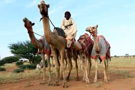 How Sudan's tribes transformed their camel business to keep Gulf buyers