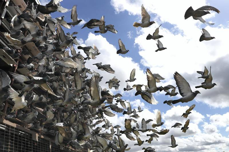 YEOVIL, ENGLAND - JUNE 13: Racing pigeons are liberated by the South Birmingham Federation at  Yeovil Showground on June 13, 2020 in Yeovil, England. (Photo by Michael Steele/Getty Images)