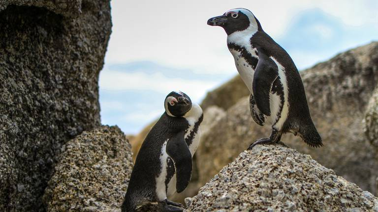 An image that illustrates this article Swarm of bees kills 63 endangered penguins in South Africa