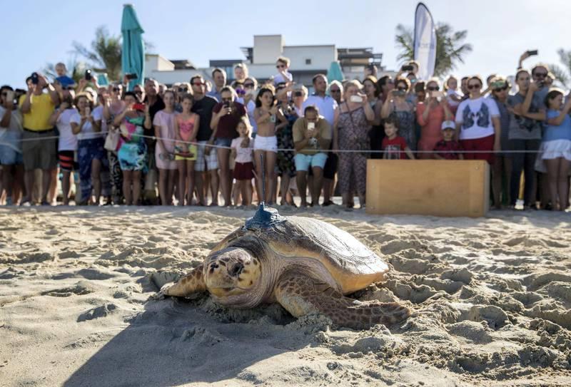 Dubai, United Arab Emirates - November 29th, 2017: PHOTO PROJECT. Turtles are released back into the wild by the Dubai turtle rehabilitation project. Wednesday, November 29th, 2017 at Al Naseem, Dubai. Chris Whiteoak / The National