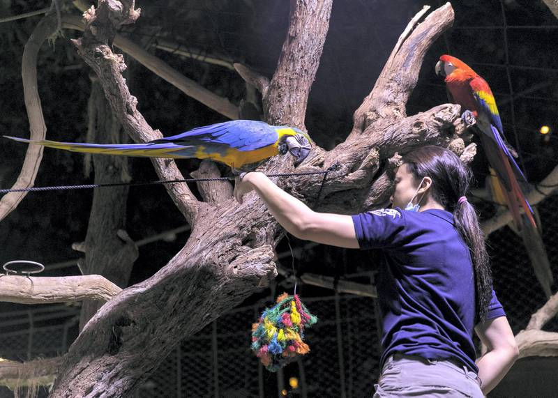 DUBAI, UNITED ARAB EMIRATES. 11 JUNE 2020. Parrots at Dubai Mall's Aquarium and Underwater Zoo(Photo: Reem Mohammed/The National)Reporter:Section: