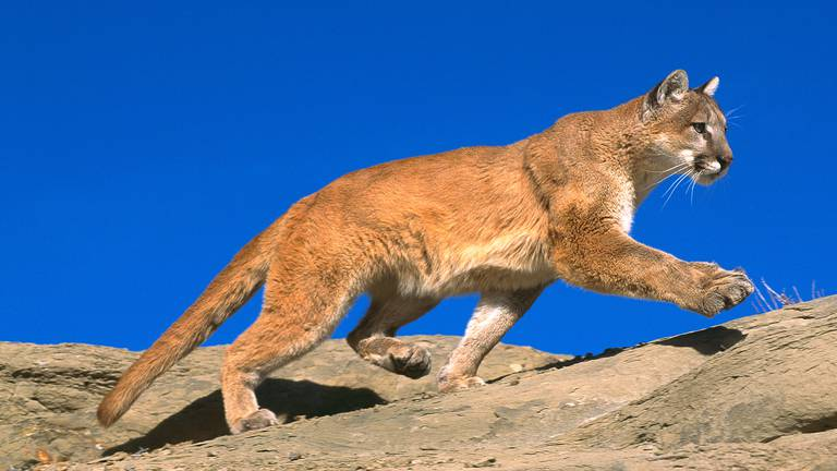 An image that illustrates this article Petition to save escaped mountain lion in France as police hunt to kill