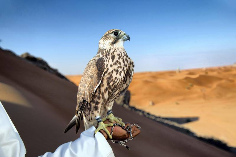 Falcon perching on mans hand.