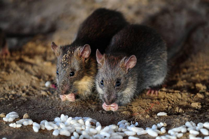 (FILES) In this file photo taken on July 28, 2015 rats eat grains of puffed rice in Allahabad.  Like people, rats cooperate with one another and give food to those in need, but how can they be sure that other rats are being truthful about how hungry they are? The answer may lie in smell-based cues that signal a rat's appetite more reliably than its begging gestures and squeaks, a study said March 24, 2020.  / AFP / Sanjay Kanojia