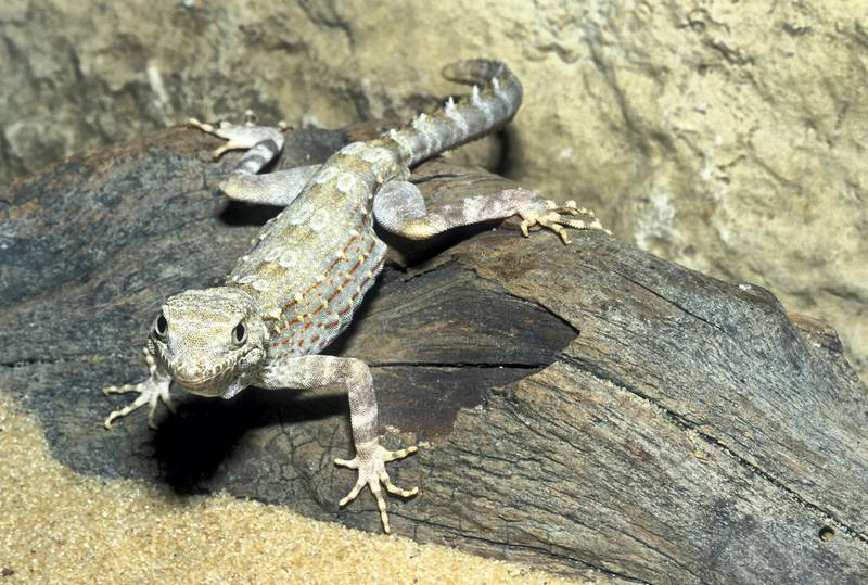Carter's semaphore gecko (Prisurus carteri)- IUCN status: Least concern- Although very abundant elsewhere, such as in Oman, this species has just a single population in the UAE, probably of fewer than 1,000 individuals- Threatened in the Emirates by gravel extraction, construction, over grazing and arms. Getty Images
