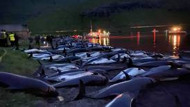 Outcry over slaughter of 1,428 dolphins in the Faroe Islands