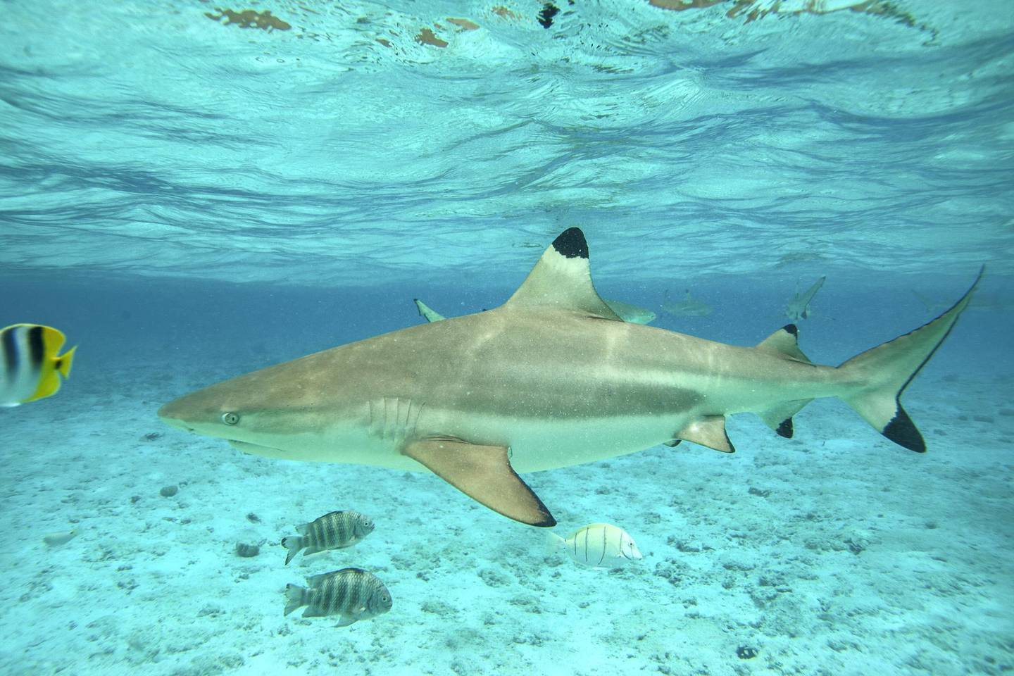 A picture taken on December 3, 2015, shows blacktip reef sharks in the lagoon of the island of Bora Bora.  Overexploitation threatens the survival of the shark. The renewal of its population is very slow. The human sample would have led to a decrease of 80 percent of the species over the last decade, 90 percent since the fifties.  / AFP PHOTO / Gregory Boissy