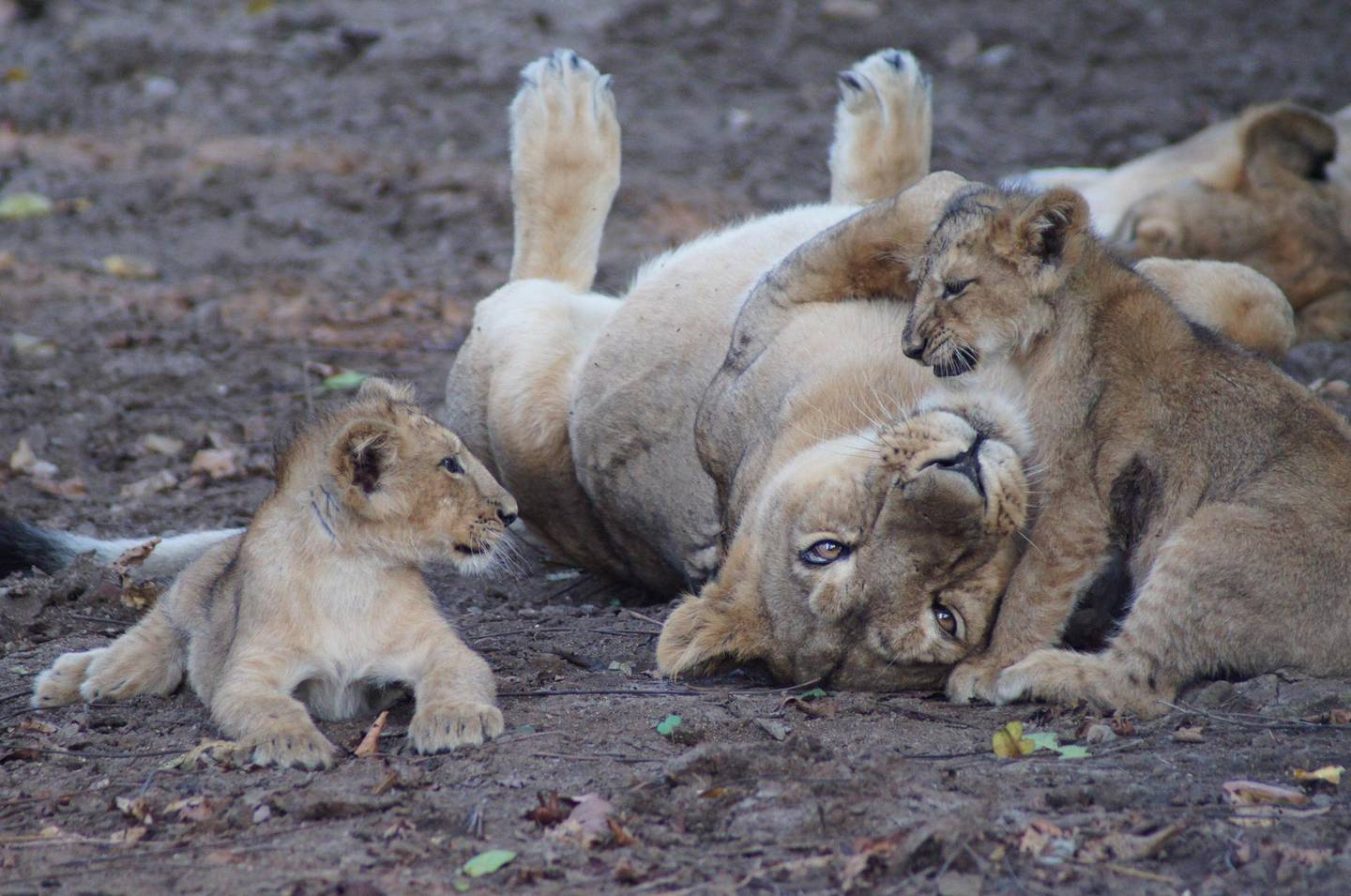 Female Asiatic Lion with cubs in Gujarat India. Courtesy Zoological Society of London