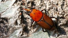 Collaboration is the key to eradicating the red palm weevil