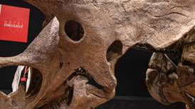 World's largest triceratops skeleton fetches $7.7m in auction