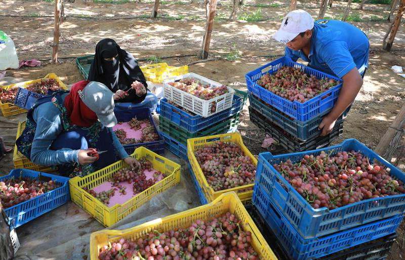 epa09270377 Workers harvest grape at the farm in Khatatba al-Minufiyah Governorate in Egypt, 14 June 2021. Table grape of this farm is exported to the EU countries, mainly Germany, England and Netherlands.  EPA-EFE/KHALED ELFIQI *** Local Caption *** 56967454