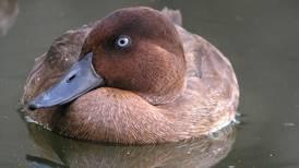 Abu Dhabi fund helps save world's rarest duck from brink of extinction